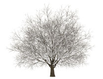 Winter hornbeam tree isolated on white Stock Photo