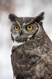 Winter Horned Barn Owl Stock Images