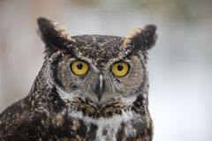 Winter Horned Barn Owl Stock Photography