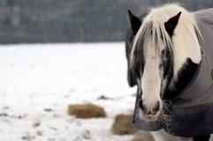 Free Winter Horse Stock Photos - 12383103