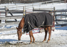 Winter Horse. A horse wears his turnout blanket in the frigid weather near Ballston Spa, New York Royalty Free Stock Photography