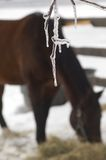 Winter Horse. A softly focused lone bay horse quietly eats his hay during the winter with focus on an icicle hanging from a branch Stock Photos