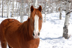 Winter Horse. Chestnut horse in snow surrounded by Aspen trees Royalty Free Stock Images