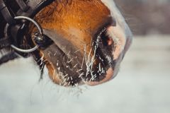 Winter horse portrait. At cold day. Nose close up Royalty Free Stock Image