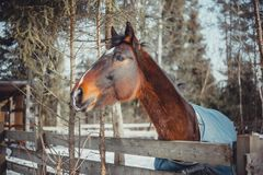 Winter horse portrait. In paddock at sunny day Royalty Free Stock Images
