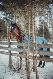 Winter horse portrait. In paddock at sunny day Stock Photos