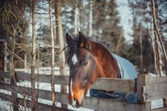 Winter horse portrait. In paddock at sunny day Stock Image
