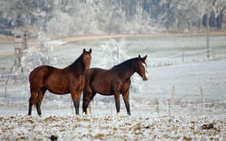 Winter Horse Series Royalty Free Stock Images