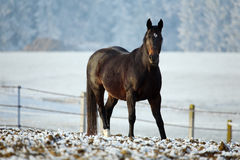 Winter Horse Series Stock Photo