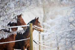 Winter Horse Series Stock Image
