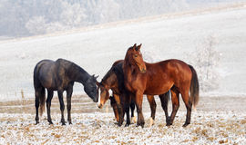 Winter Horse Series. Four horses in a winter landscape stock image