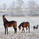 Winter Horse Series. Three horses in a winter landscape stock photos