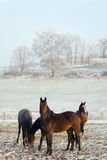 Winter Horse Series Stock Images