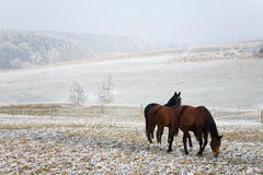 Winter Horse Series Royalty Free Stock Photos