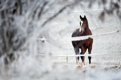 Winter Horse Series Royalty Free Stock Photography