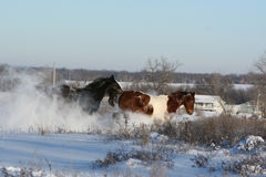 Winter Horses Royalty Free Stock Image