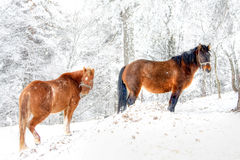 Winter horses Stock Photography