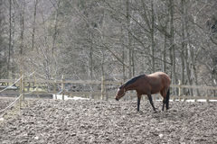 Winter horses denmak Stock Photo