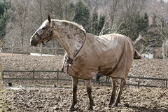 Winter horses denmak Royalty Free Stock Photo