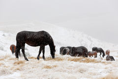 Winter. Horses grazing on the slopes of the North Caucasus, Russ Stock Images