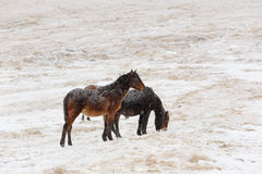Winter. Horses grazing on the slopes of the North Caucasus, Russ Royalty Free Stock Image
