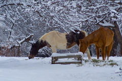 Winter Horses Near. Horses in the pasture in the snow Royalty Free Stock Photography