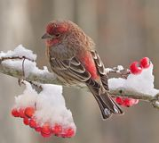 Winter House Finch Royalty Free Stock Images