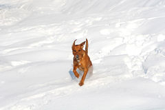 Winter-Hund Stockfoto