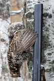 Hunting for a hazel grouse. Winter hunting for a hazel grouse. the trophy is taken stock image