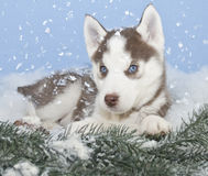 Winter Husky Puppy Royalty Free Stock Photos