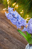 Winter hyacinth Royalty Free Stock Photography