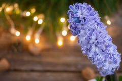 Winter hyacinth Stock Photography