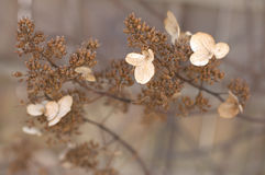 Winter hydrangea Royalty Free Stock Photo