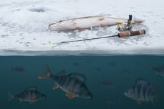 Winter ice fishing concept. Pike on snow. Catching perch fish from snowy ice at lake. Double view under and above water. Winter ice fishing background. Pike on royalty free stock images