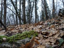 Forest ivy tree moss wood herb new original royalty free stock photos