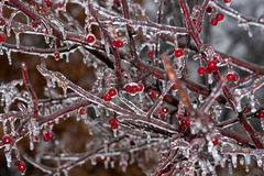 Winter Ice Storm. A photo of a crab apple tree with its limbs and berries covered with ice after a winter ice storm Stock Image
