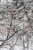Winter. Icing. Icy trees and shrubs, winter royalty free stock images