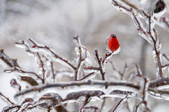 Winter. Icing. Icy trees and shrubs, winter stock photos