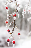 Winter. Icing. Icy trees and shrubs, winter royalty free stock photos