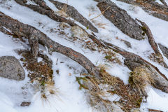 Winter interesting scenery. Tree roots background and dry grass Stock Images