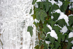 Winter ivy royalty free stock photo