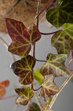Winter ivy leaves with purple colour. Royalty Free Stock Photography