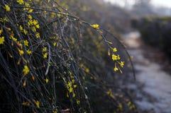 Winter-Jasmin Lizenzfreie Stockfotos