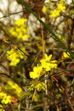 Winter Jasmine 04 Royalty Free Stock Images