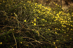 Winter Jasmine Stock Photo