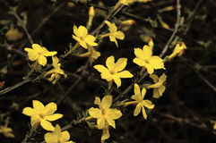Free Winter Jasmine Stock Photos - 13910973