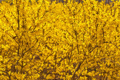 Winter jasmine Royalty Free Stock Image