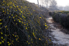Winter Jasmine Stock Photos