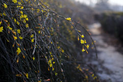 Winter Jasmine Royalty Free Stock Photos