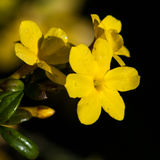 Winter Jasmine Stock Image